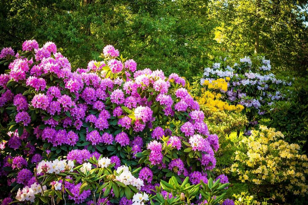 Rhododendron display at Brodie Castle