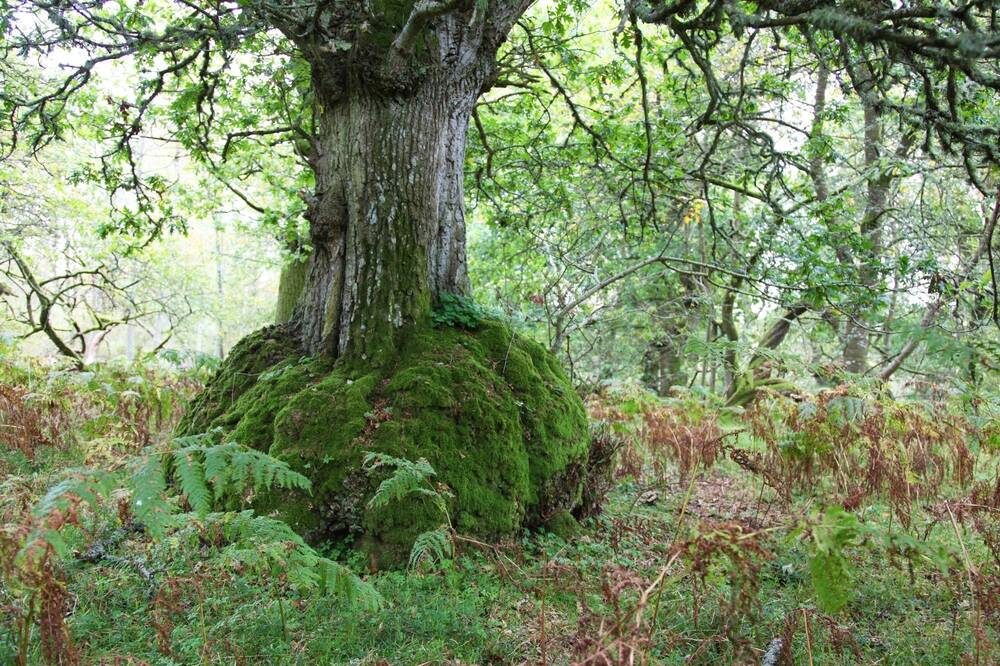 A close-up of the lower trunk of a thick tree in Drum Wood. The wide, gnarled base is covered in moss, and surrounded by bracken and ferns.