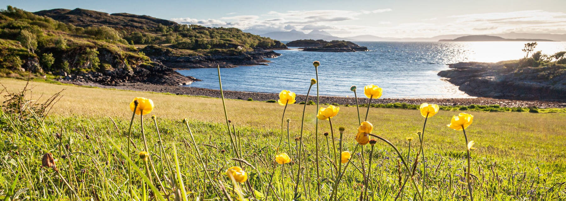 Yellow globe flowers with a beach and the sea in the background, at Balmacara in the highlands.
