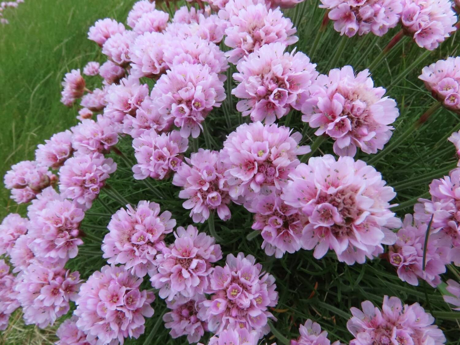 A close-up of a bundle of sea pink flowers on Staffa.