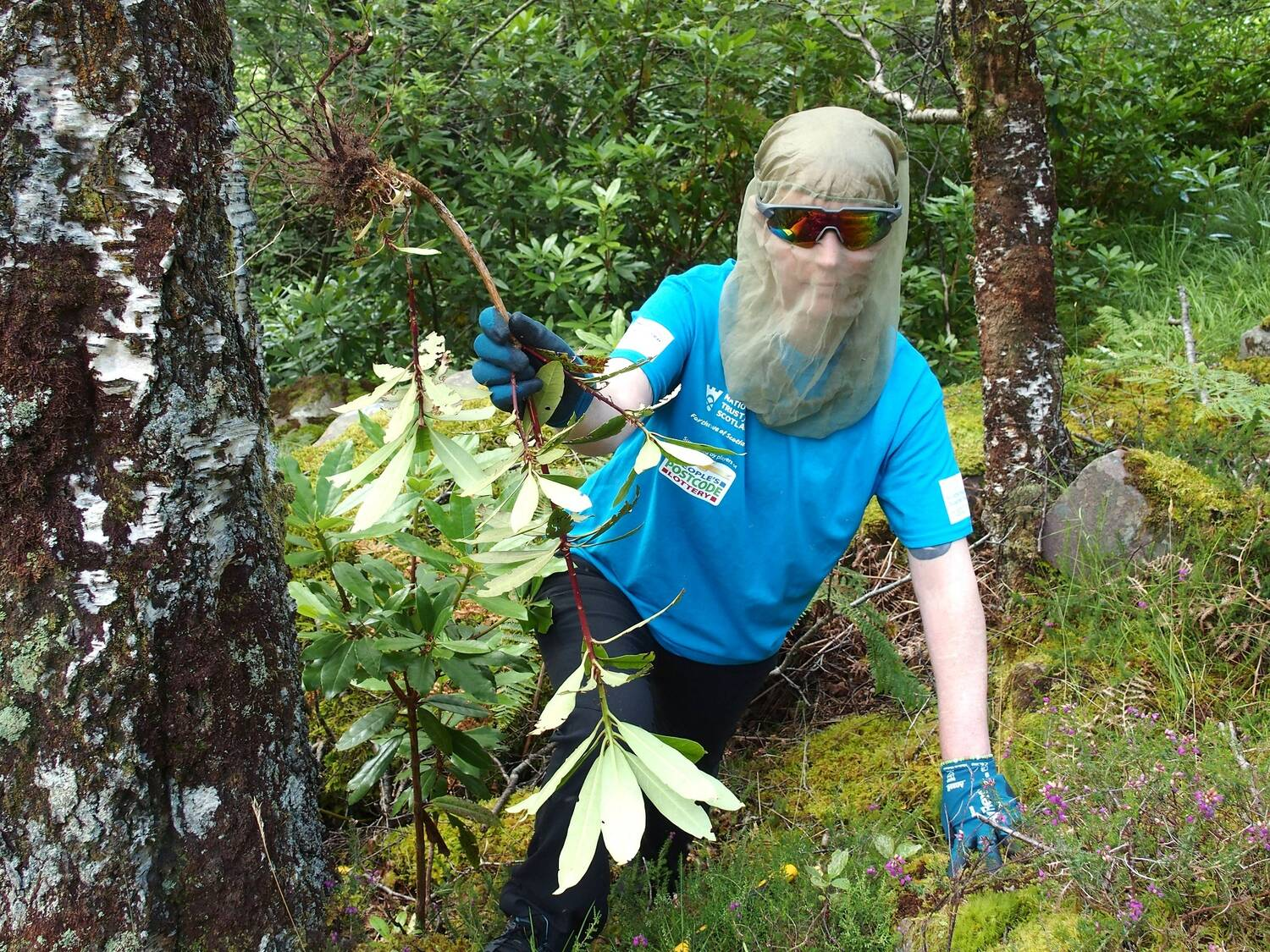 A contractor in a blue t-shirt and anti-midge mask removes Rhododendron ponticum as part of Project Wipeout