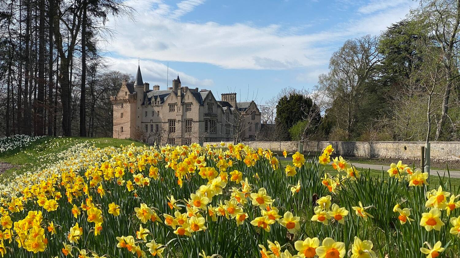 A view of Brodie Castle in the background, with a grassy bank covered in daffodils in the foreground. A long stone wall runs beside a path that leads to the castle.