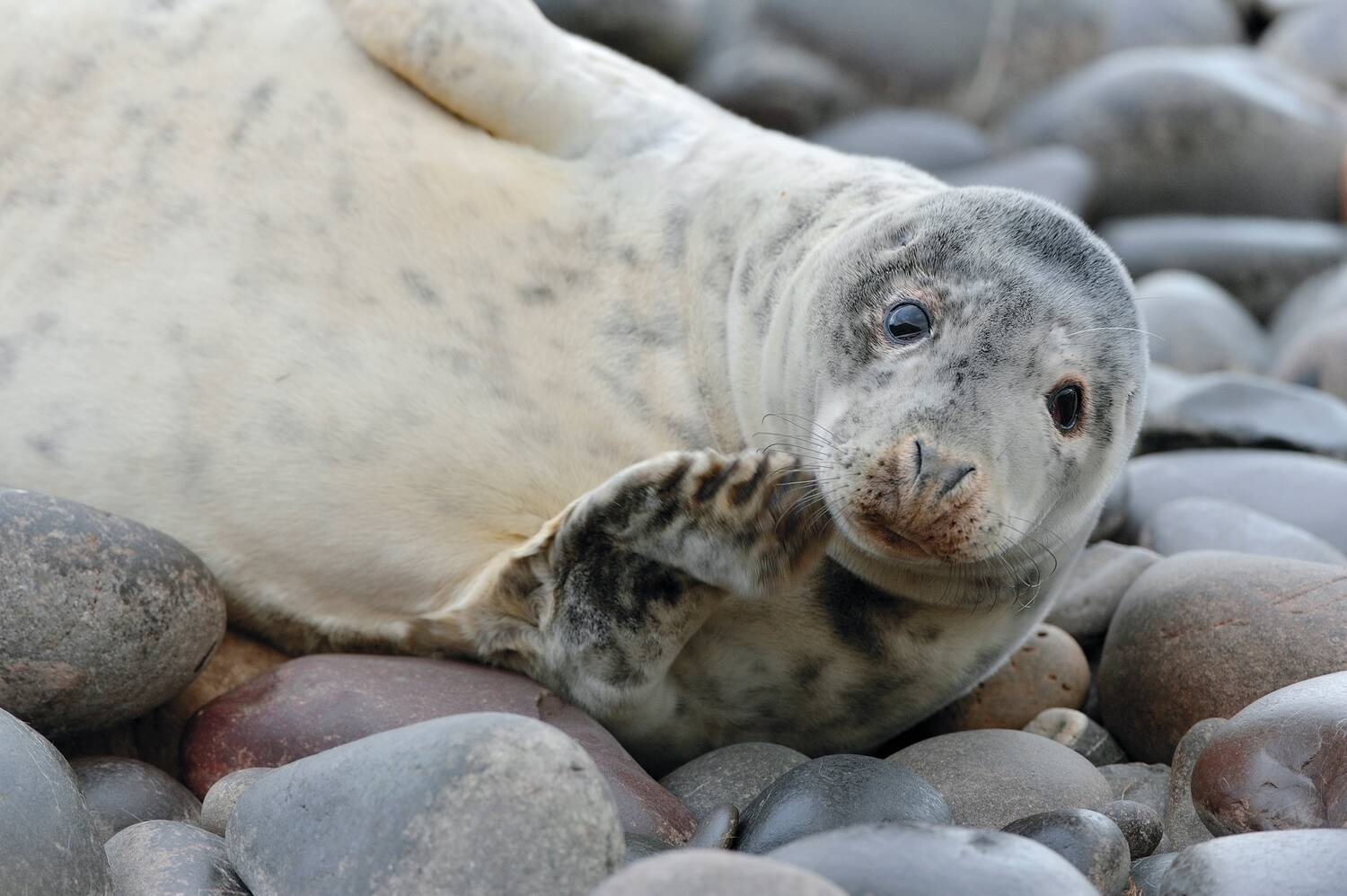 A large seal lies on some large pebbles and stones on a beach. It has a creamy, blotchy tummy, and a darker head. It appears to be waving one flipper at the camera.