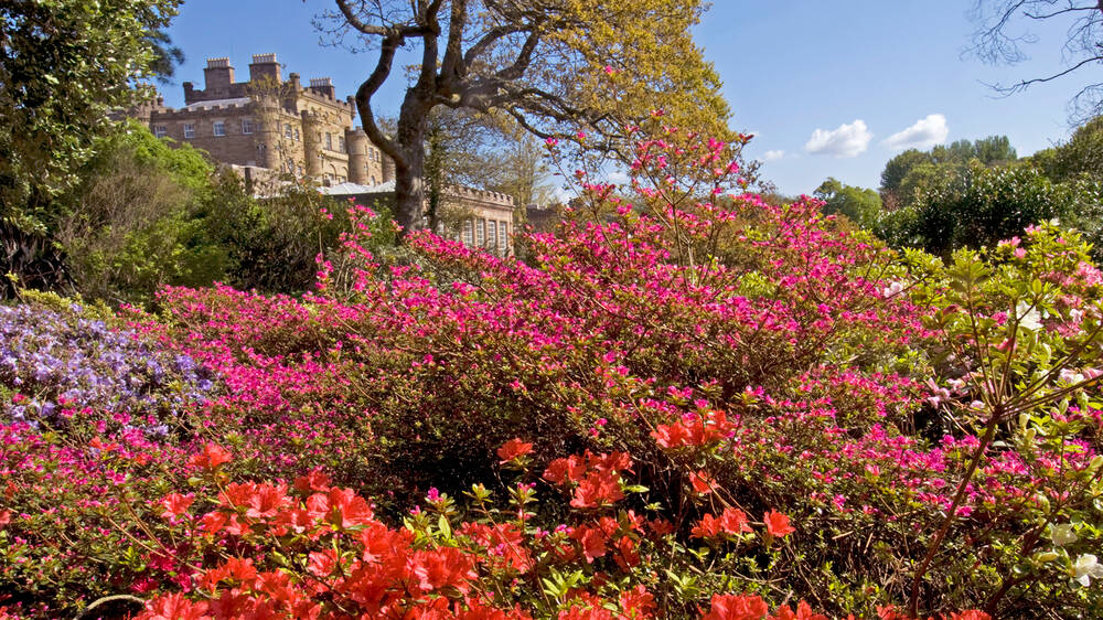 Rhododendrons in bloom in the garden at Culzean. The castle stands in the background.