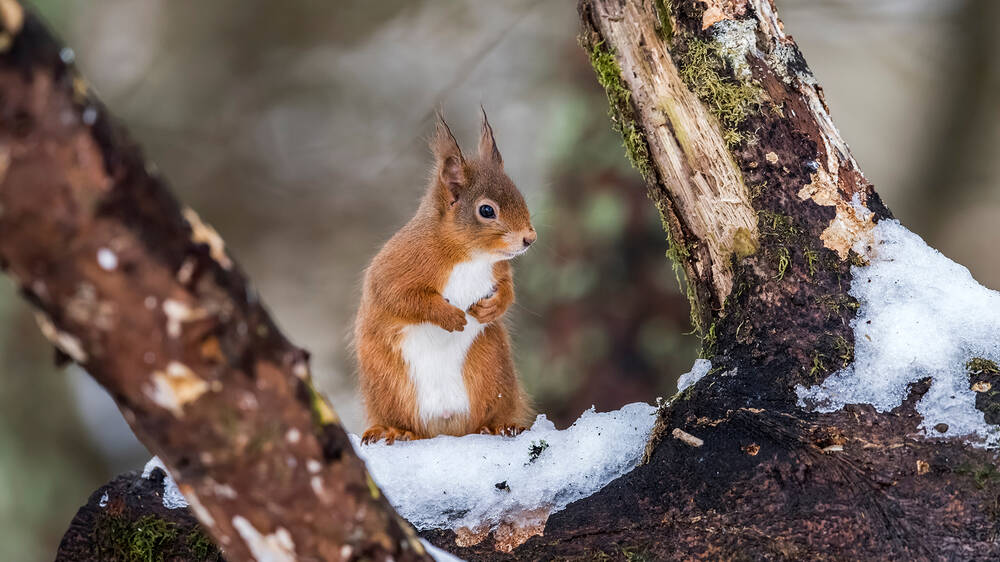 A red squirrel sits on a log, framed by two branches. It holds its front paws up in front of its white tummy.