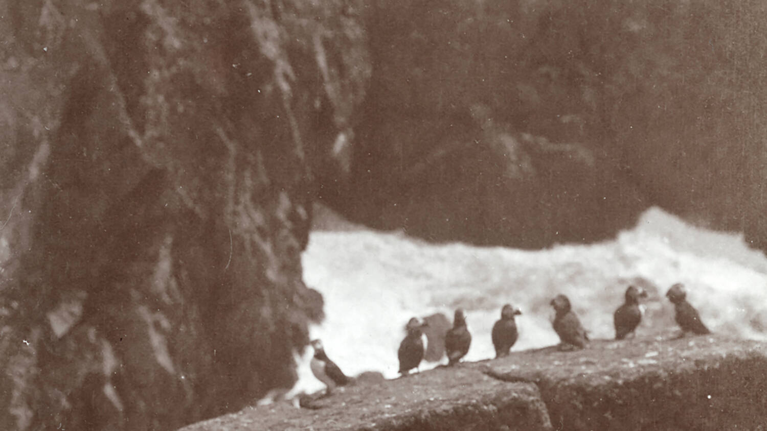Black and white photo of puffins on St Kilda