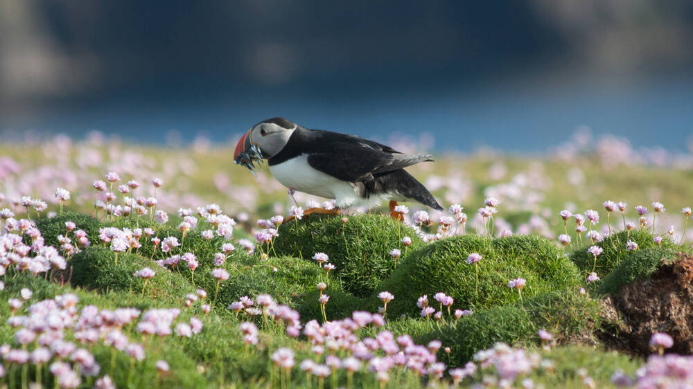 A puffin walks across a flower-covered cliff top. It has some food in its beak.