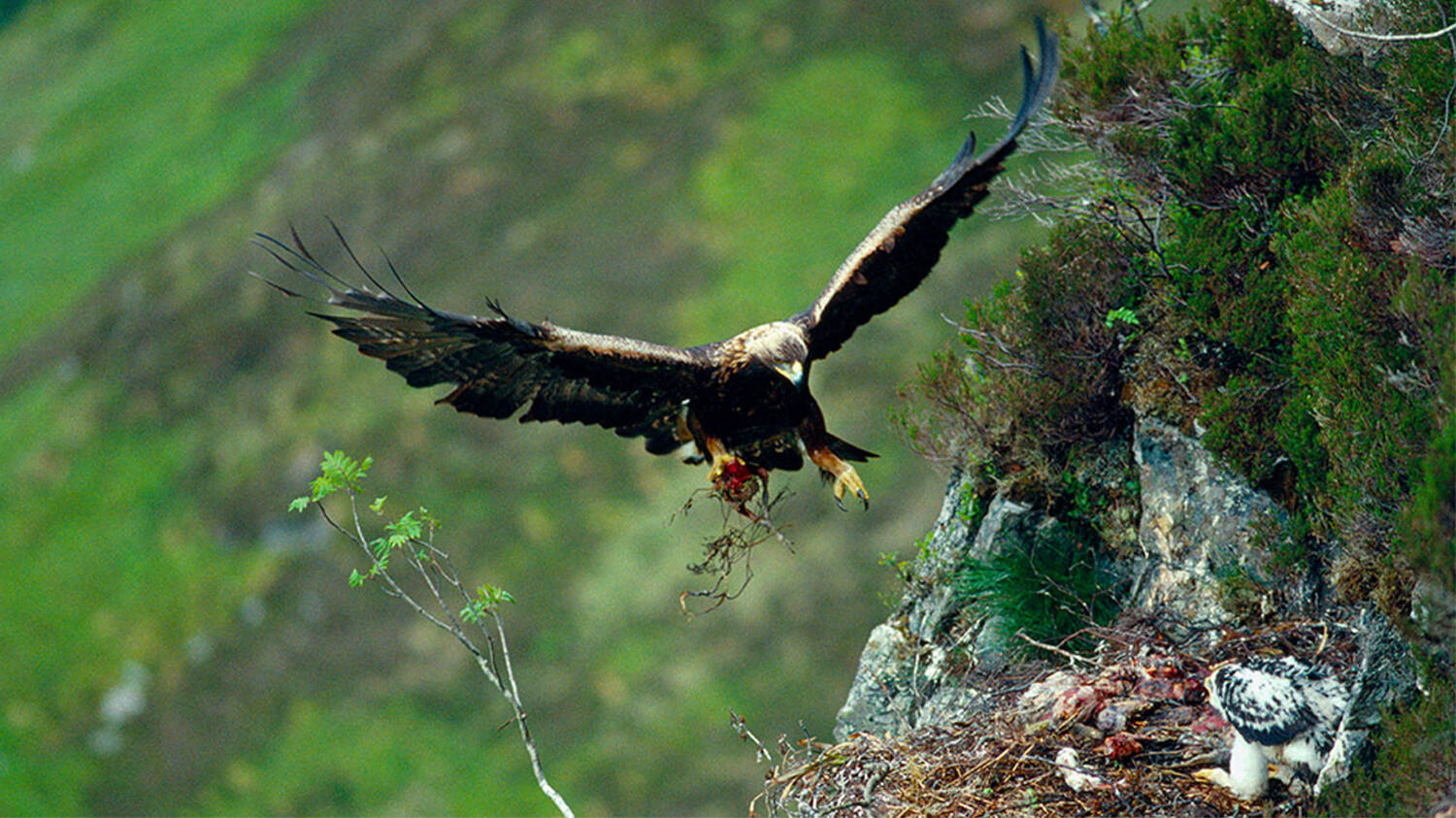 A golden eagle comes in to land on its nest, on a mountainside. A chick is in the nest.