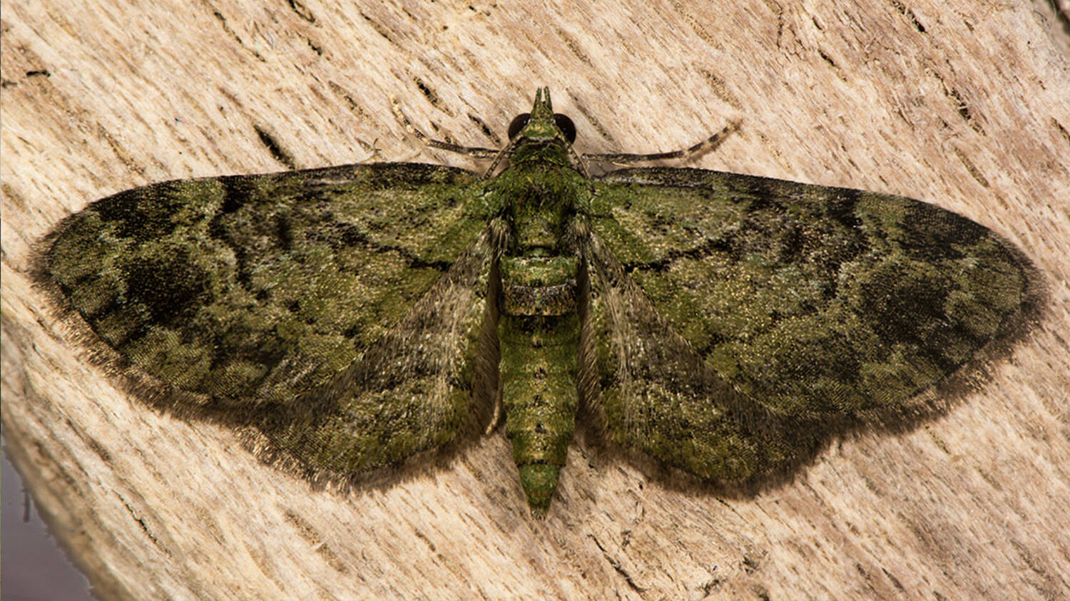 special moth at Inverewe