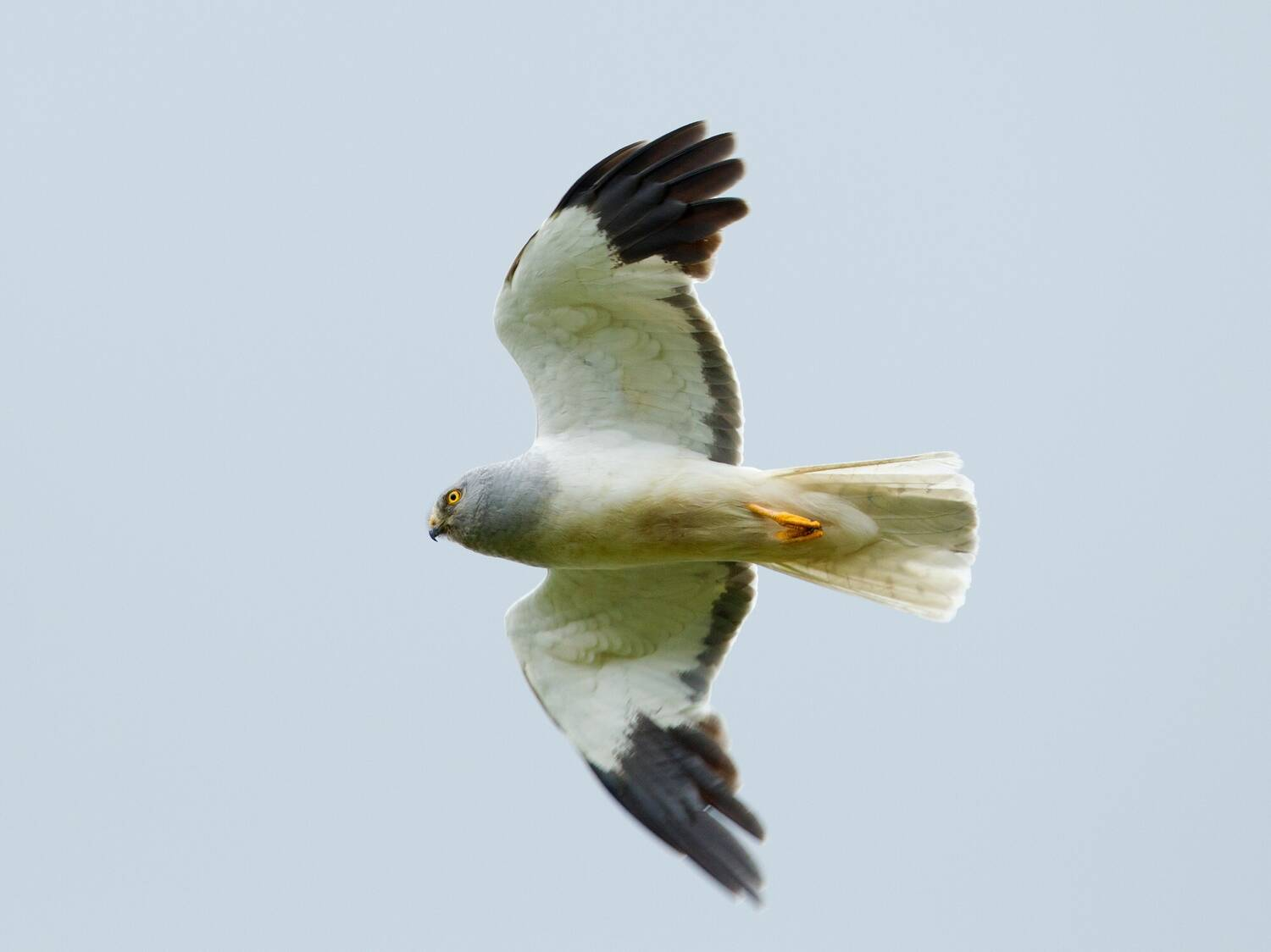 A hen harrier in flight. It has a predominantly white body, with black-tipped wings.