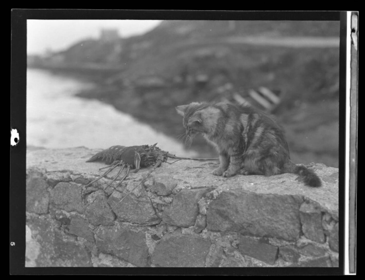 A black and white photograph of a large crayfish and a tabby cat sitting on a low stone wall beside a shoreline on Barra. The cat sits to the right, and leans down slightly to look at the crayfish.