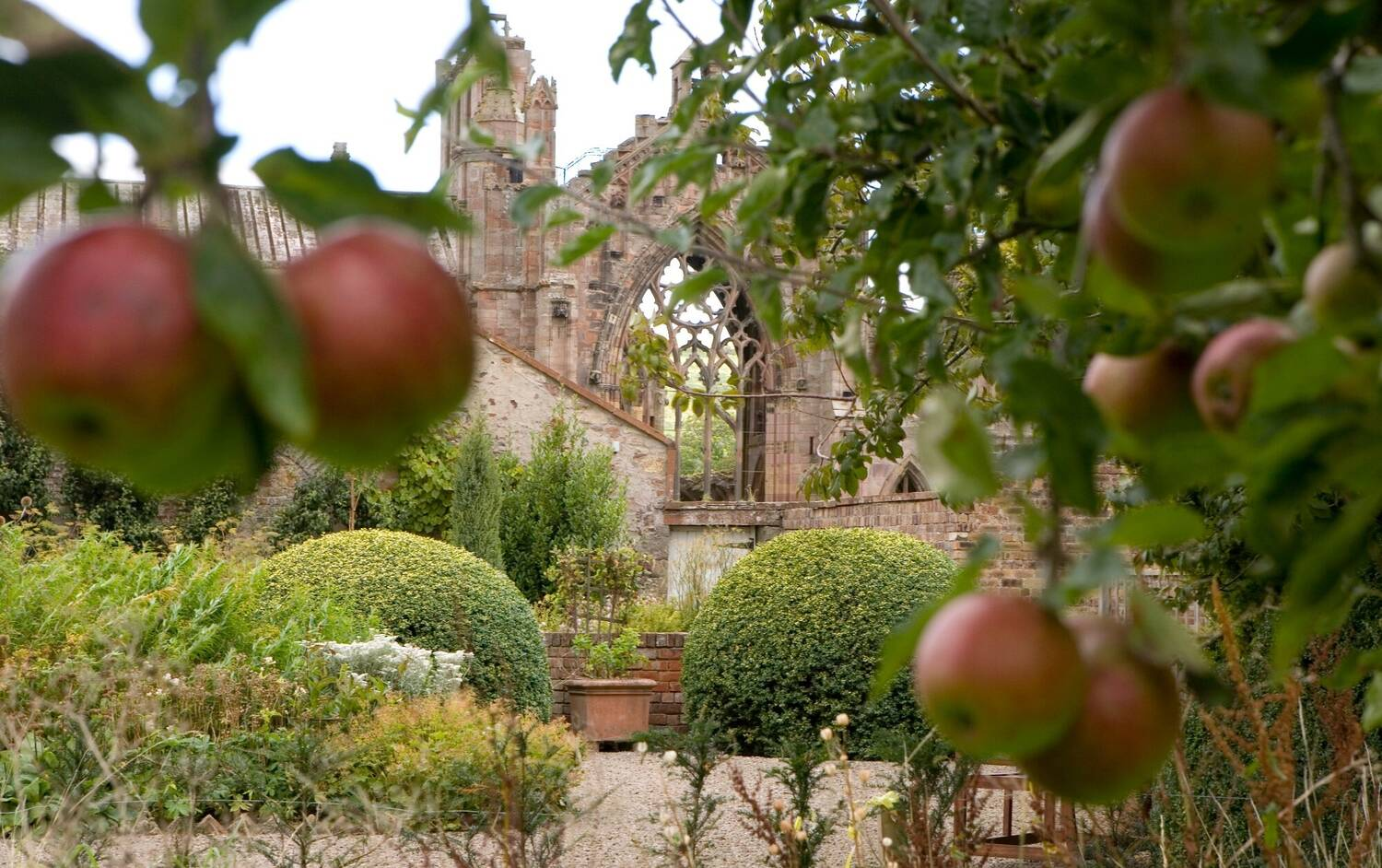 Close-up of red-green apples hanging from a tree, with Melrose Abbey in the background.
