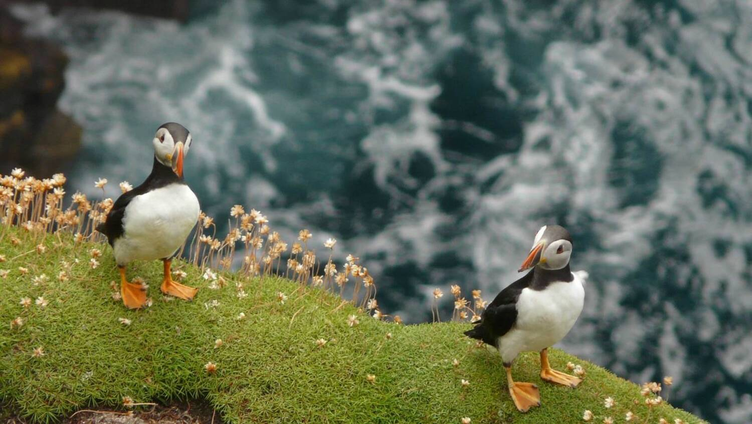 Two puffins standing on a grassy cliff edge on St Kilda.