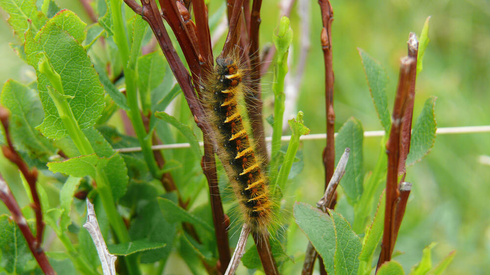 A long, yellow and black striped hairy caterpillar climbs up a twig.