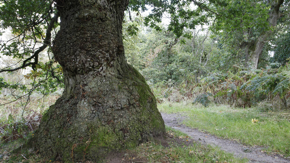Pathway passing an old oak