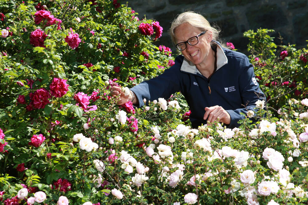 A volunteer tends to the roses in the garden at Falkland Palace