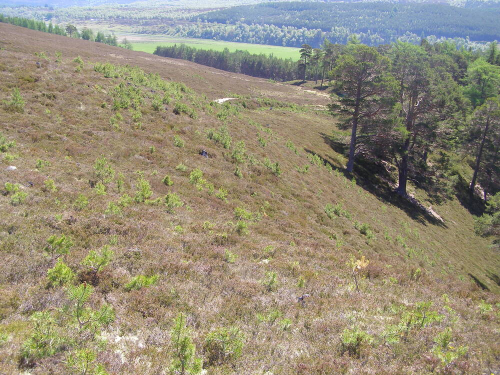 Caledonian pine regrowth on the Lower Quoich at Mar Lodge Estate