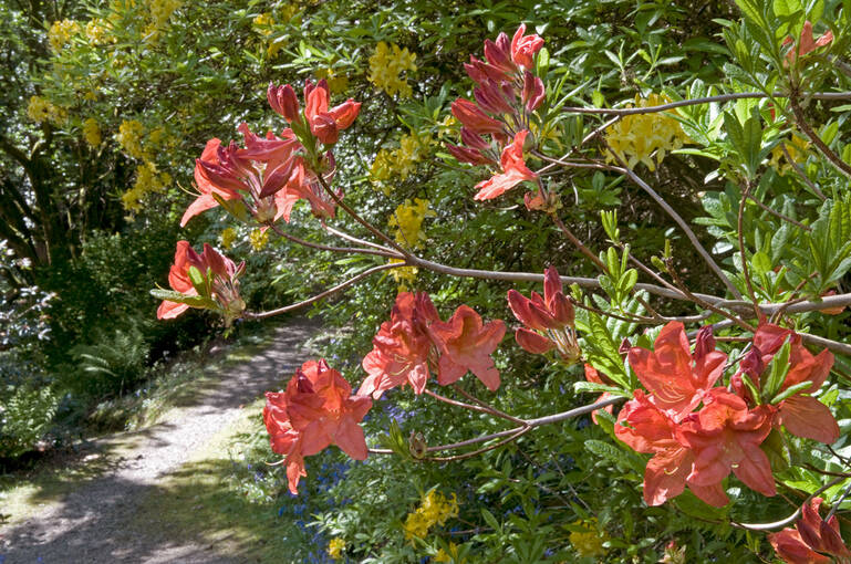 A close-up of orange azaleas in Arduaine Garden