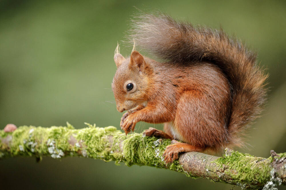 Red squirrel on a lichen-covered branch.