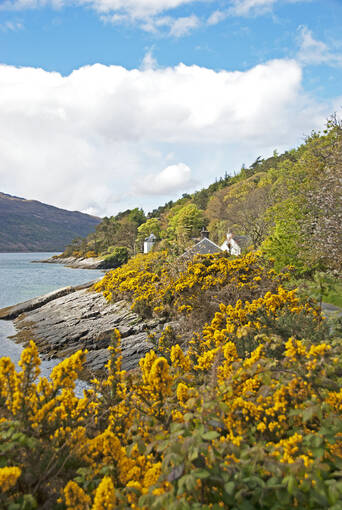 Gorse bushes in flower next to Loch Alsh