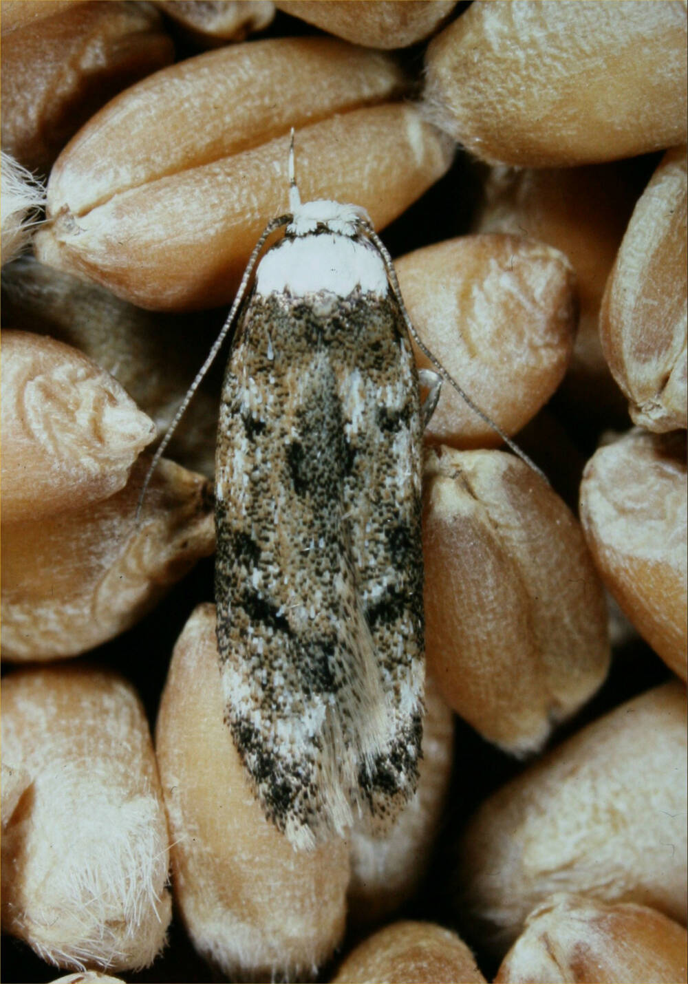 A white-shouldered moth sitting on some grain