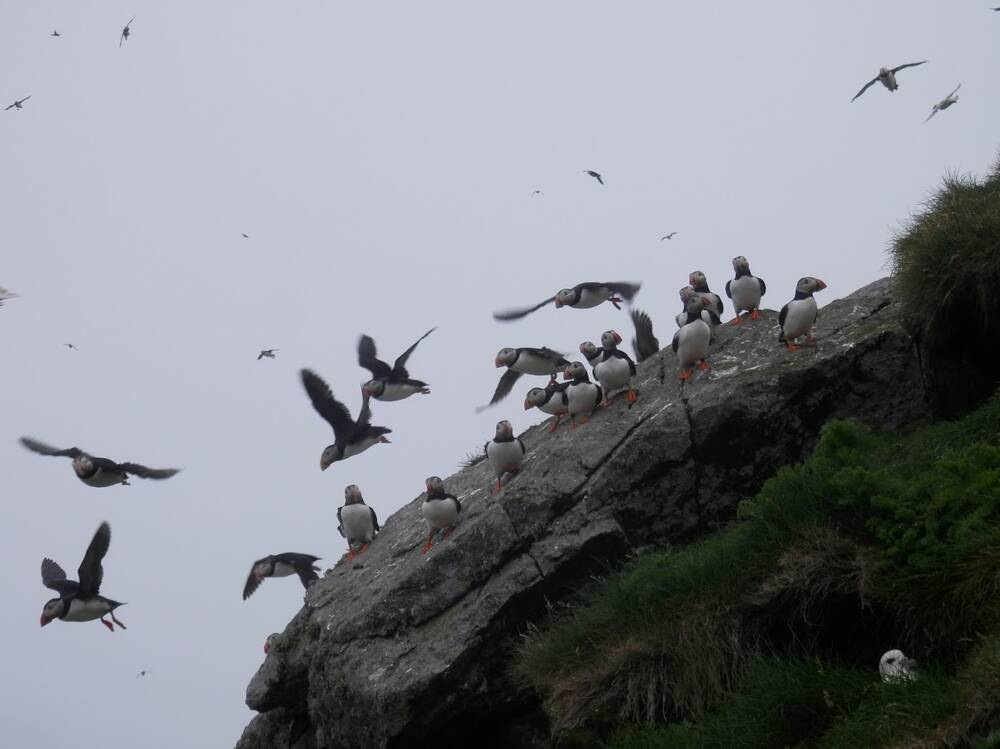 Puffins on a rock on St Kilda at dusk. Some sit on the rock; others launch into flight; a few more circle in the air above.