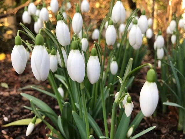 'The Laird' Snowdrops