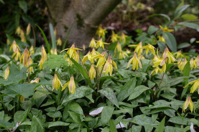 Dog's tooth violet flowers in Branklyn Garden