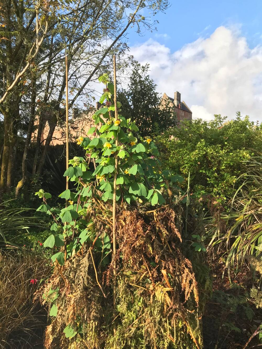 A fairly tall shrub, with bright green leaves and yellow flowers, is shown being supported with canes in a flower bed. Around the base of the canes are piles of bracken and ferns. Brodick Castle can just be seen in the distance.