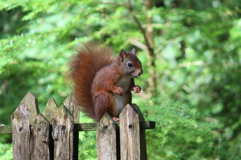 A red squirrel perches on top of a wooden fence in woodland. It sits on its hind legs, holding its front paws in front of its white tummy. Its large fluffy tail is held against its back.