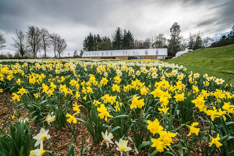 Beds of daffodils in full bloom cover a large garden space. A wooden cabin and a large rabbit statue can be seen in the background.