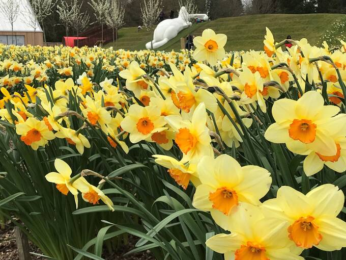 A close-up of bright yellow daffodils, with paler petals and a darker trumpet, growing in beds. A large white rabbit statue can be seen in the background.