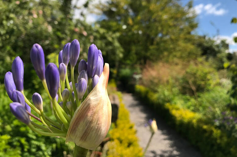 Blue agapanthus coming into bloom in Broughton House Garden