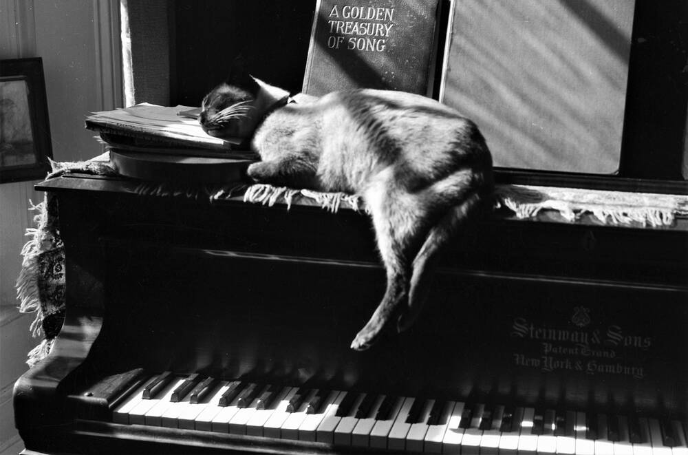 Pooni the Siamese, Ruler of Canna House for almost 18 years, enjoys the sunshine on Margaret Campbell's Steinway piano