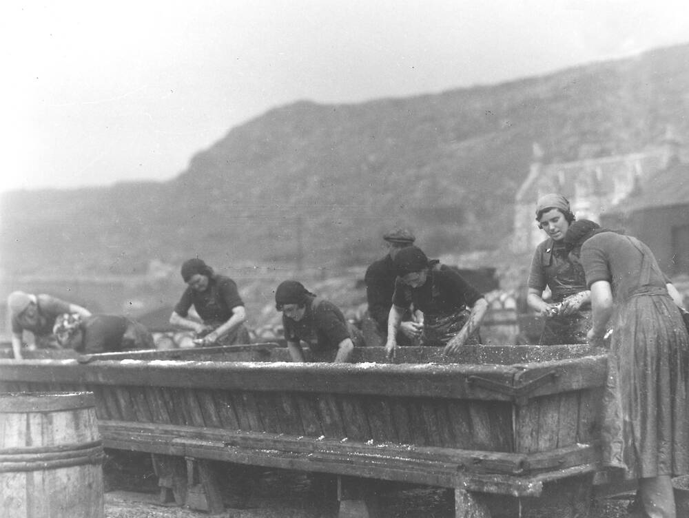Seven women stand in a line, dealing with the herring catch. They lean over a long trough. A man stands in the background.