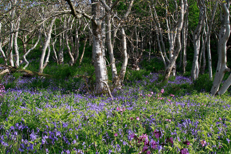 Lines of trees and bluebells on Canna