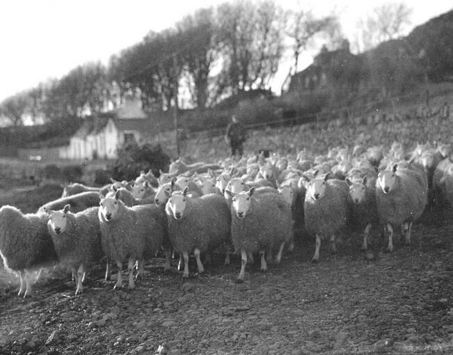 A black and white photograph of a flock of sheep being driven along the beach in front of Canna House