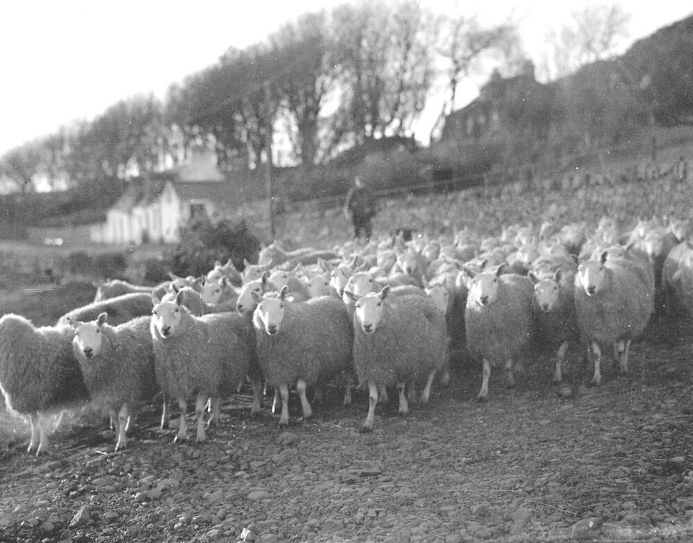 A black and white photo of a large flock of sheep being herded on the beach. A man walks behind them in the background.