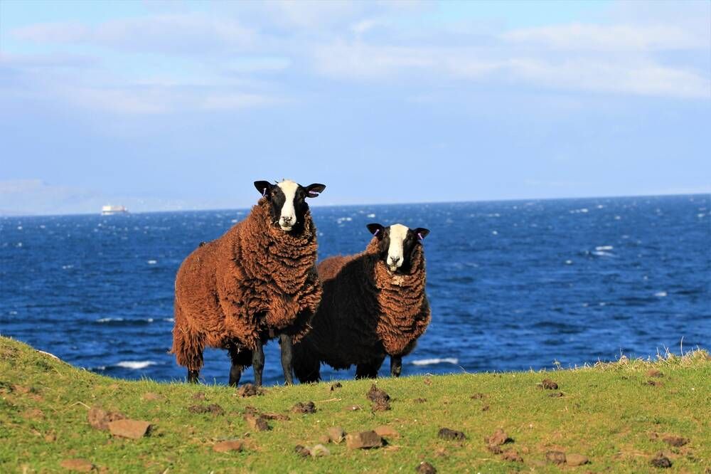 Two sheep stand in a grass field, with the blue sea in the background. They have thick, brown fleecy coats, and a black head with a wide white stripe down their nose.