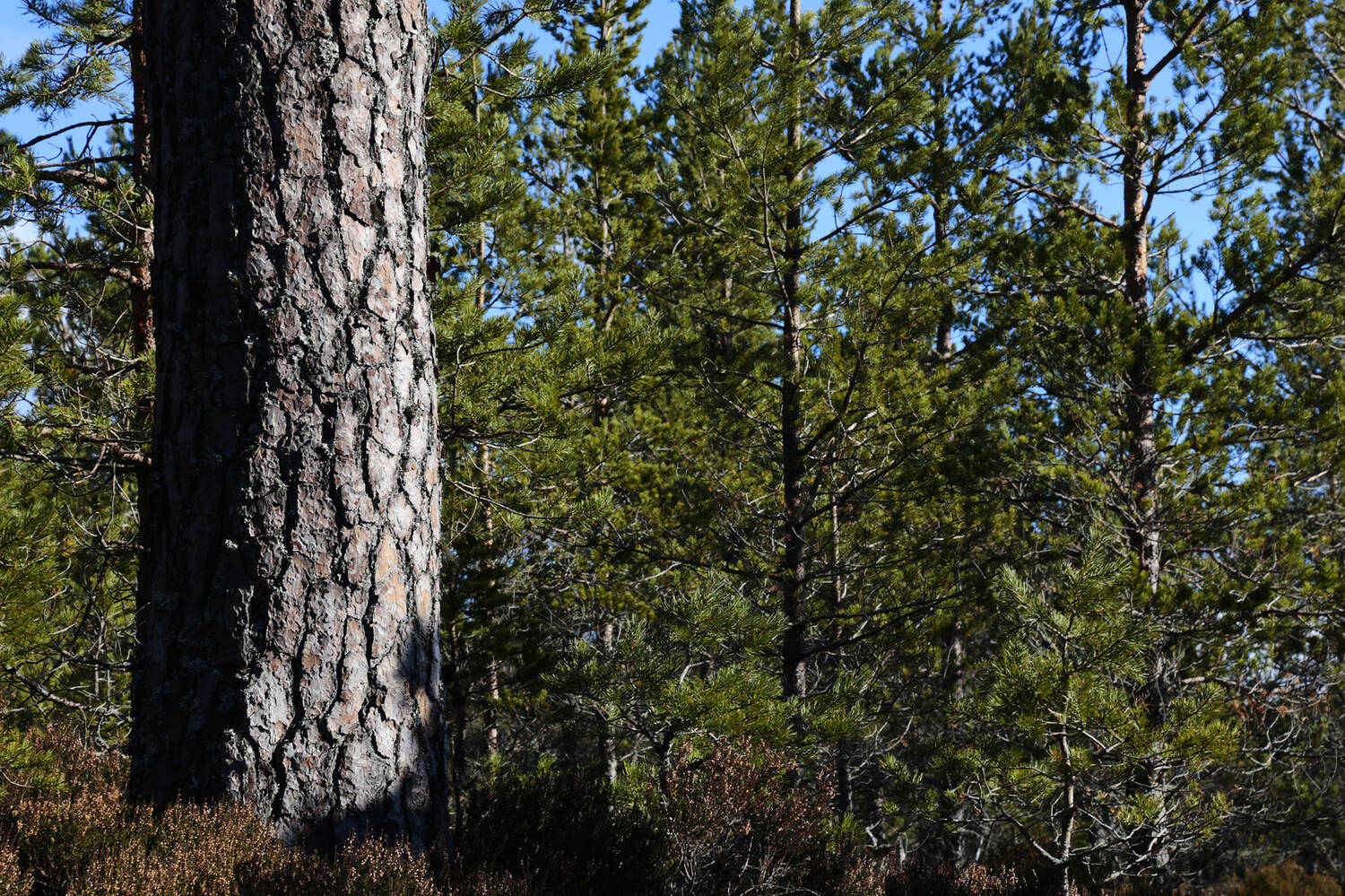 A pine woodland with blue sky above. A close-up of a large tree trunk at the left hand side.