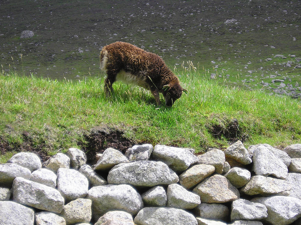 A Soay lamb eating grass on Hirta, St Kilda