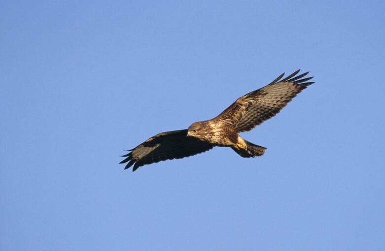A buzzard flying over Craigower on a sunny day