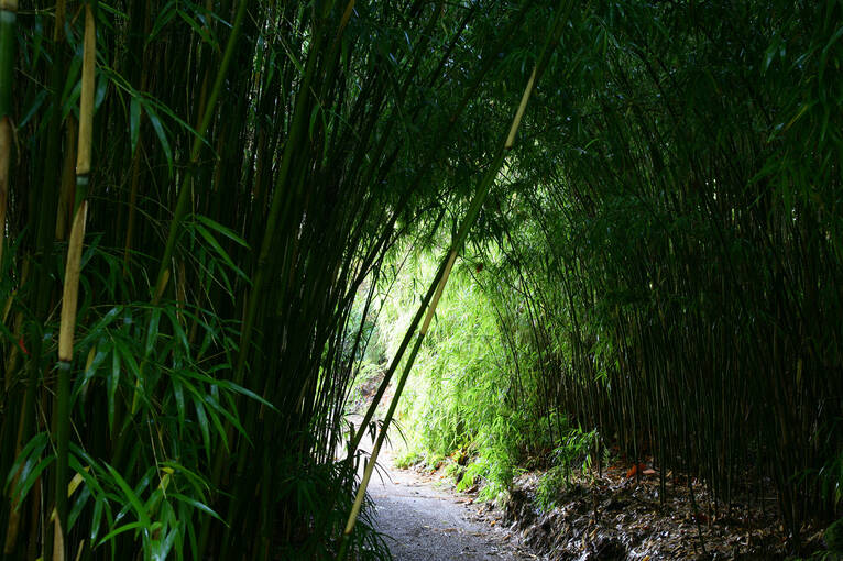 The bamboo tunnel in Crarae Garden