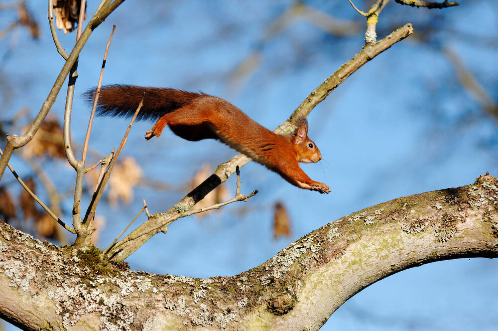 Red squirrel jumping across a tree in Crathes Castle Estate