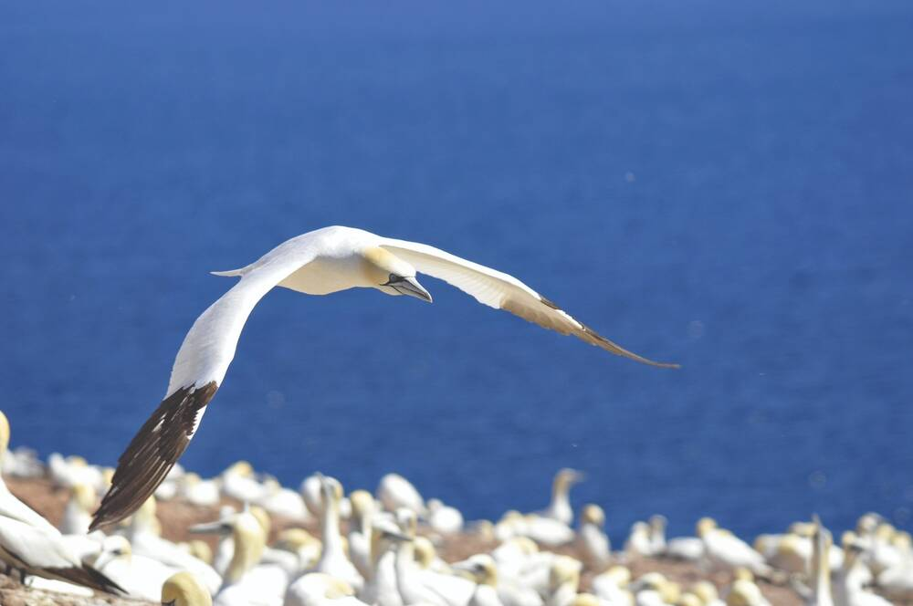 A gannet swoops low over a colony of seabirds, with the bright blue sea in the background.