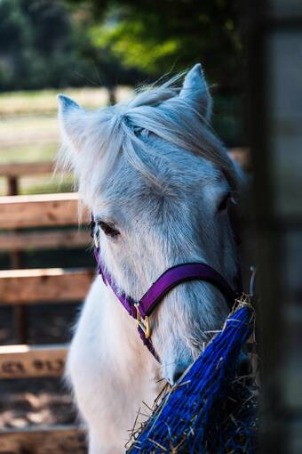 A white pony stands in a stable with its nose in a food bag. It has a purple bridle.