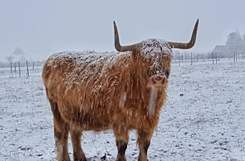 A Highland cow faces the camera, standing in a snowy field. Her coat is covered in a layer of snow.