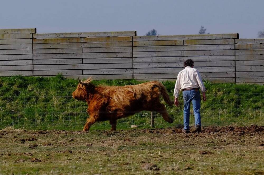A Highland cow runs past a man in a field.