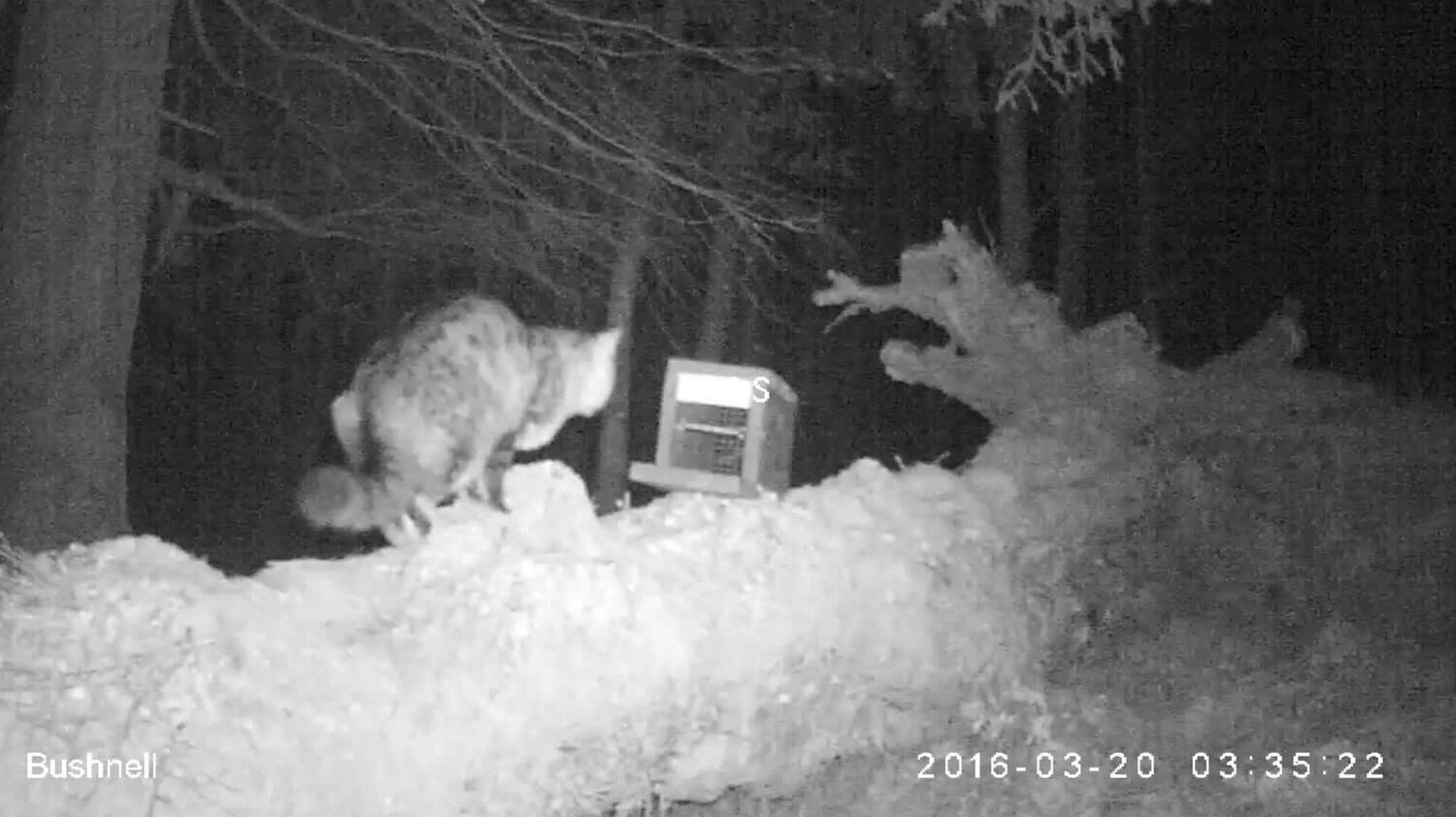 A wildcat caught on camera at night