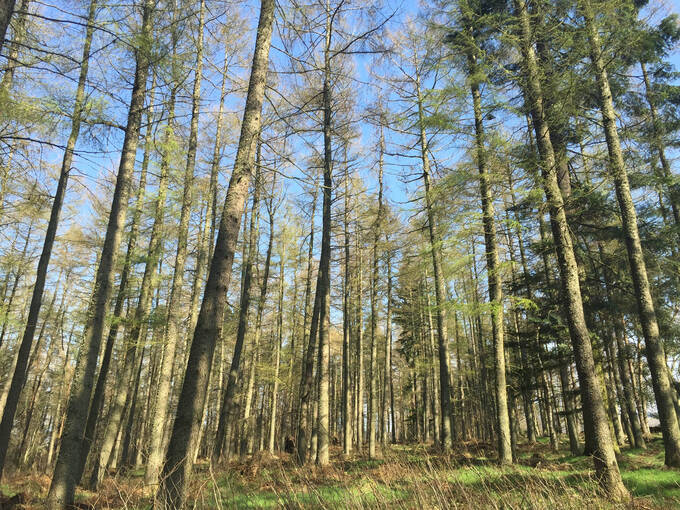 Tall trees in Castle Fraser woodland